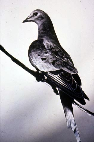 Martha, the last passenger pigeon. The species was hunted from several billion to zero in about a century.