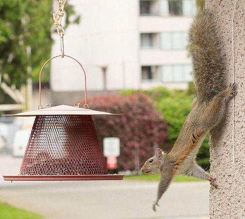 Eastern gray squirrel. Credit: waferboard (Wikipedia).