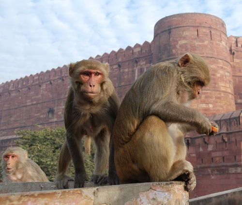 Rhesus monkeys in India. Credit: Thomas Schoch.